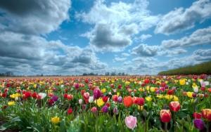6946943-tulips-scenery