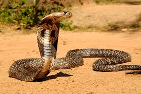Where is the snake in Bishop Obinim?