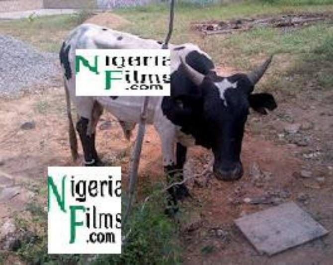 9ice Gets Cow As Birthday Gift Rapper, Vector