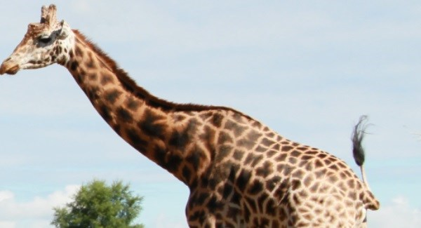 Fota Wildlife's giraffe Tadgh has passed away
