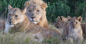 South African 'rhino poachers' eaten by lions